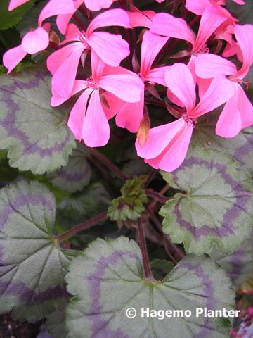 Dresden Pink 6164 copy