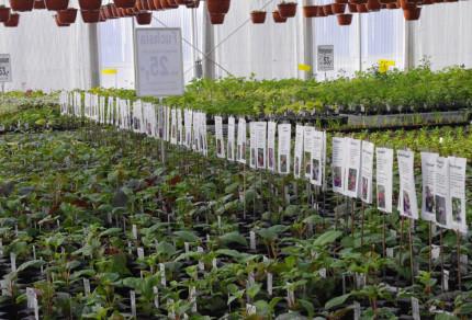 Fuchsia salgsbord 6744