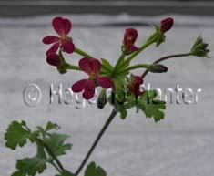 Gibbosina Purple 5165 copy