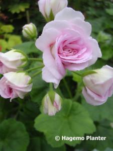 Millfield Rose 6157 copy
