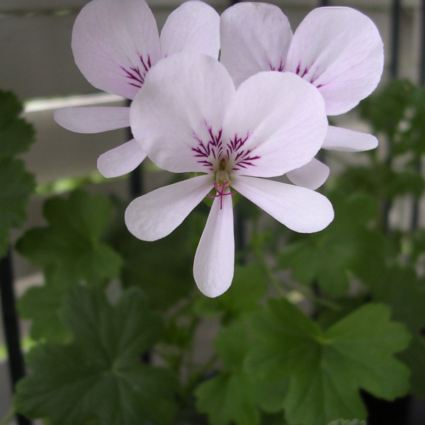 P.grandiflorum 2918
