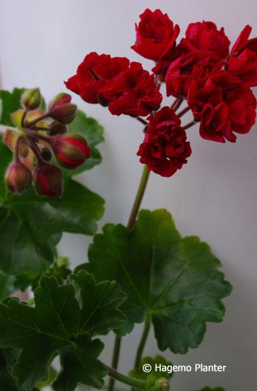 Røde sommerblomster